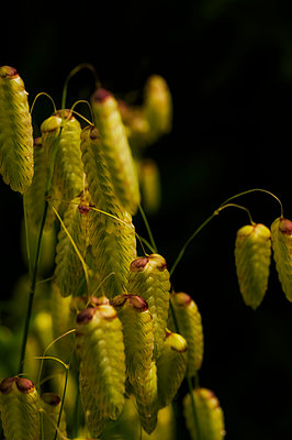 Close up of greater quaking grass - p1047m1475144 by Sally Mundy