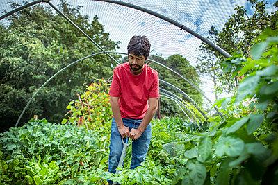 Gardener digging up new potatoes in summer time in organic vegetable garden - p429m2146223 by Monty Rakusen