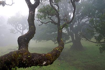 Lorbeerwald auf Madeira - p9790053 von Kesler