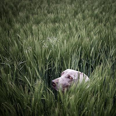 Hund versteckt sich im Feld - p1168m1525808 von Thomas Günther