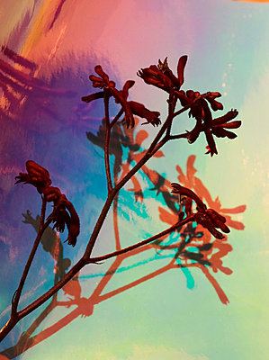 Känguruhblume - p1174m2244750 von lisameinen