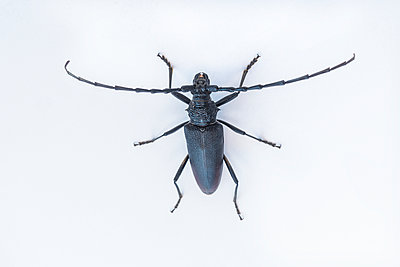 Great capricorn beetle, Cerambyx cerdo - p1437m2052948 by Achim Bunz