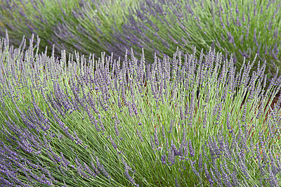 View of lavender flower - p300m797780f by Achim Sass