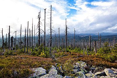 Germany, Bavaria, Lusen, Bavarian Forest National Park, Forest dieback in autumn - p300m979094f by Stefan Schurr