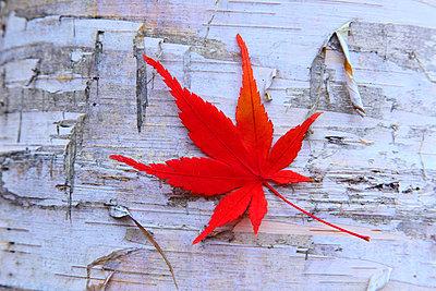 Autumn leaf - p307m974270f by Mamoru Muto