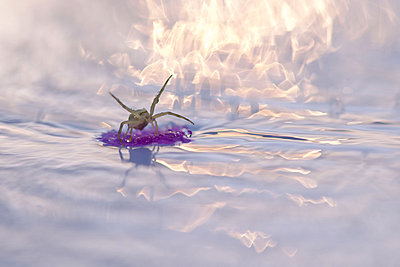 Spider floating on debris in water - p624m1045736f by Odilon Dimier