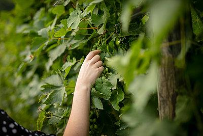 Hand picking grape - p312m2119157 by Johner