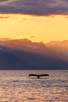 Fluke of a Humpback Whale (Megaptera novaeangliae) at sunset, Lynn Canal, with the Chilkat Mountains in the background, near Juneau; Alaska, United States of America - p442m1442328 by John Hyde