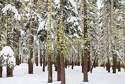 Verschneiter Nadelwald - p756m1461743 von Bénédicte Lassalle