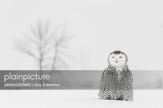 Snowy Owl (Bubo scandiacus), Ontario, Canada - p840m2269862 by Guy Edwardes