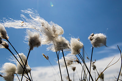 Cotton grass - p417m2021923 by Pat Meise