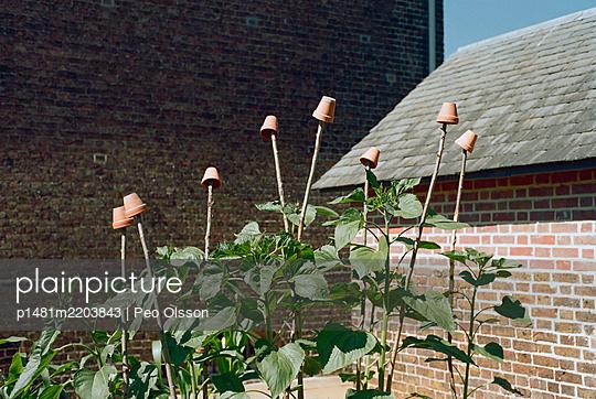 Plants in a kitchen garden in a backyard, London - p1481m2203843 by Peo Olsson