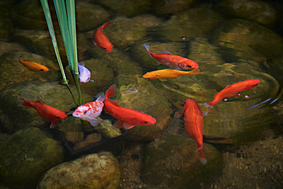Goldfische im Teich - p227m1476545 von Uwe Nölke