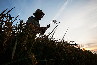 Rice at harvest stage, seen as grower  checks crop condition at sunrise; England, Arkansas, United States of America - p442m1086919 by Bill Barksdale