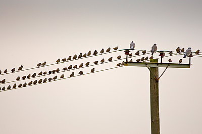 Migratory Starlings and wood pigeons at Thames Estuary. Avian Flu (Bird Flu) could be brought to Britain from Europe by migrating birds. - p871m884432 by Tim Graham