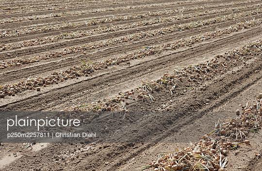 Onion field - p250m2257811 by Christian Diehl