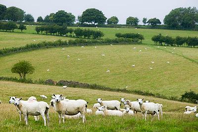Schafherde auf der Weide - p1057m1440416 von Stephen Shepherd