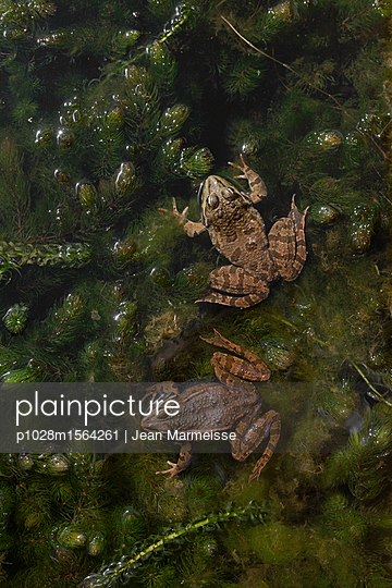 Two Common frogs (Rana temporaria) - p1028m1564261 von Jean Marmeisse