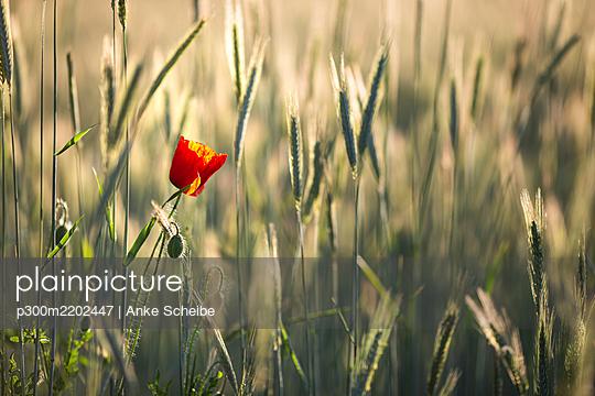 Single red poppy in wheat field - p300m2202447 by Anke Scheibe