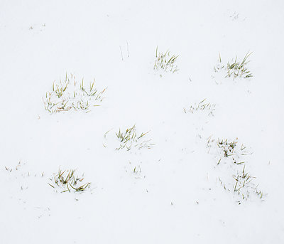 Plant in snow - p1113m1214999 by Colas Declercq