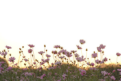 Cosmos Flowers - p5148768f by Tetsuya Tanooka