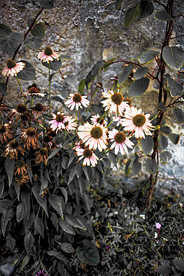 Withering flowers - p075m1467859 by Lukasz Chrobok