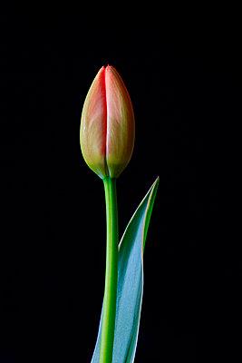 Studio shot of single budding tulip - p300m2275665 by Thomas Jäger