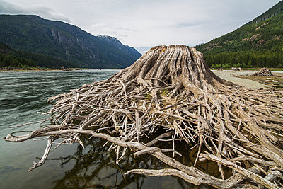 Tree stump and roots along the shores of Buttle Lake, Strathcona Provincial Park; British Columbia, Canada - p442m976571f by Robert Postma