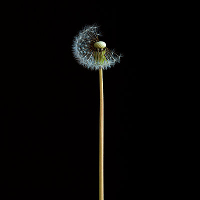 Seeds of dandelion - p813m1039476 by B.Jaubert