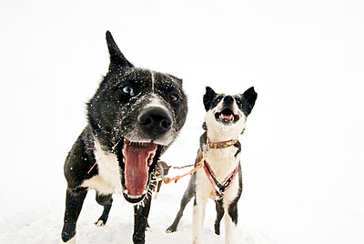 Draught Dogs barking, Svalbard - p8475048 by Henrik Witt