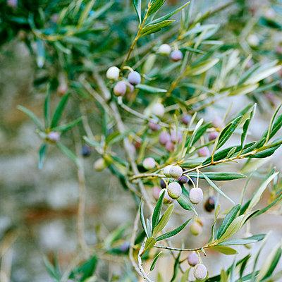 Olivenzweig - p949m694789 von Frauke Schumann