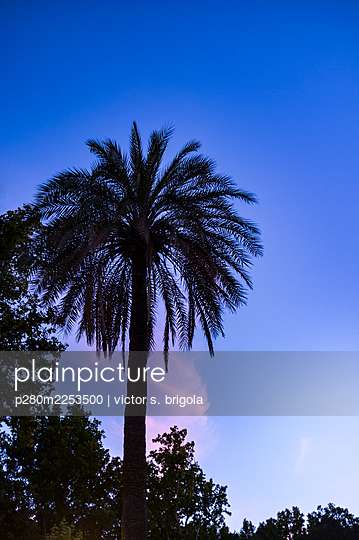 Spain, Andalusia, Palm tree - p280m2253500 by victor s. brigola