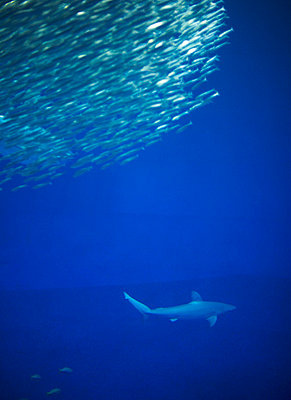 Shark and School of Fish - p6940486 by Chris Leschinsky
