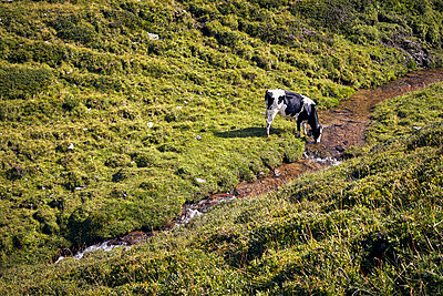 Cow drinking from mountain stream - p704m1476007 by Daniel Roos