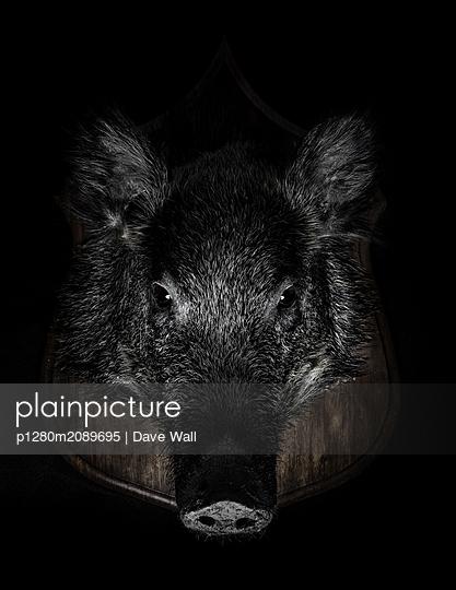 Taxidermy, Wild boar head - p1280m2089695 by Dave Wall