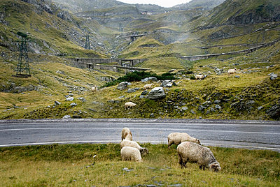 sheep in front or road - p5677637 by Baptiste Mourrieras