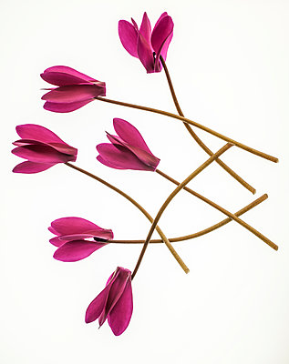 Cyclamen flowers - p971m2026263 by Reilika Landen