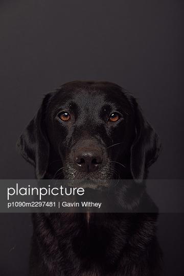 Labrador Retriever, portrait - p1090m2297481 by Gavin Withey