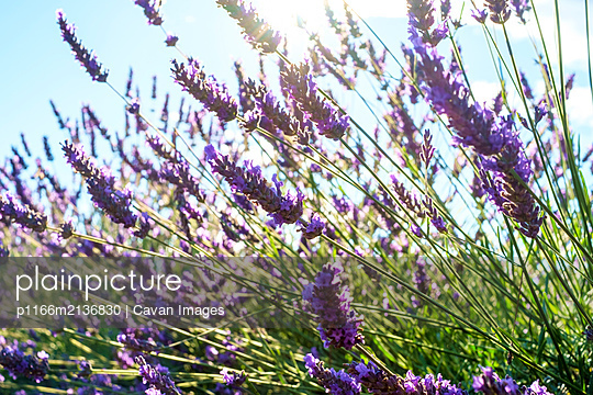 Lavender blossoms in height of bloom in early July - p1166m2136830 by Cavan Images