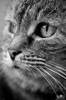 Black and white close-up portrait of a tabby cat. - p1433m1541065 by Wolf Kettler