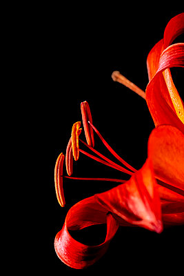 Matrix Asiatic Lily plant in bloom on a black background - p442m2074049 by Mark Jurkovic