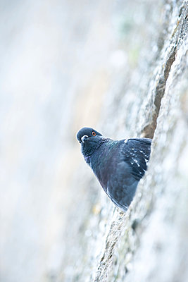 Wild Dove sits in the City wall - p533m2044328 by Böhm Monika