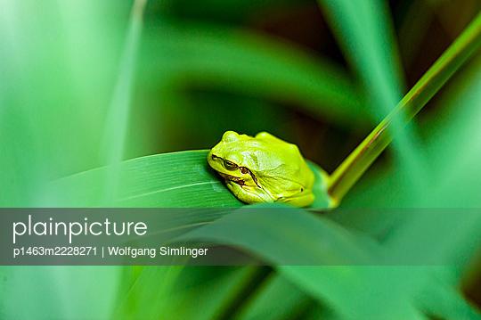 Laubfrosch, hyla arborea, Jungtier sitzt auf Schilfblatt - p1463m2228271 von Wolfgang Simlinger