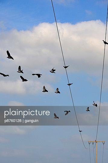 Tauben auf einer Stromleitung - p8760128 von ganguin
