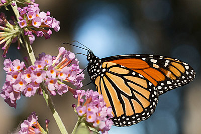 Close-up of monarch butterfly pollinating on fresh flowers - p1166m1545290 by Cavan Social