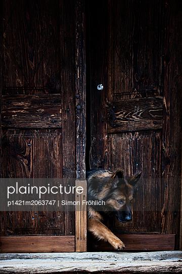 Schäferhund auf Entdeckungstour - p1421m2063747 von Simon Fröhlich