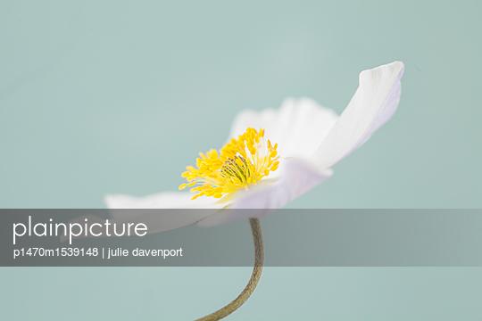 Anenome White Swan - p1470m1539148 by julie davenport