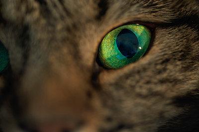 Katze mit grünen Augen - p1418m1571782 von Jan Håkan Dahlström