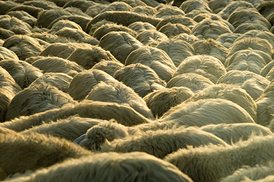 Italy, Tuscany, flock of sheep on a road - p300m982067f by Mandy Reschke