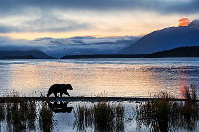 Brown bear (Ursus arctos alascensis), Brooks Lake, Katmai National Park and Preserve,  alaska peninsula, Alaska, USA - p651m2032589 by Marco Gaiotti